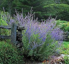 Russian Sage -- This is one of my absolute favourite herbs in the garden. Add to floral arrangements also.