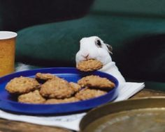 Baby bunny steals a cookie