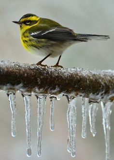 Townsend's Warbler on ice