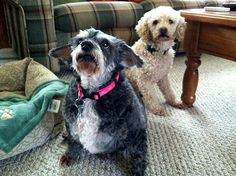 Minnie, the Miniature Schnauzer and Abbey, the Miniature Poodle