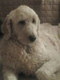 Brooklyn #goldendoodle