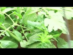 How to Grow Tomatoes Horizontally : Organic Gardening for Real