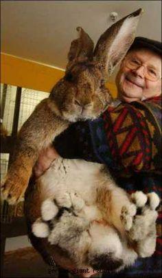german giant rabbit! WHAT.