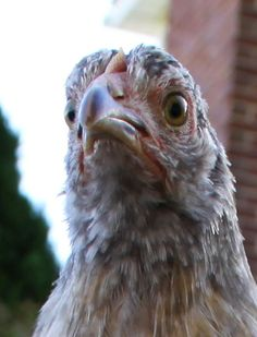 Natural Chicken Keeping: Ask Bee - (Killing with Kindness) Lice, Mites, Bumblefoot, Poor Feathering... Where Am I Going Wrong?