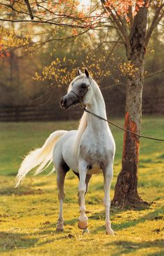 Arabian stallion Paris El Jamaal