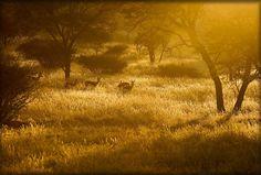 Springbok at Sunset – Namibia  Photo by Kim Walker