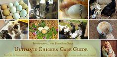 Organized chicken care Fresh Eggs Daily®: Chickens + Ducks