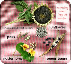 Sun Hats & Wellie Boots: Harvesting Seeds from the Garden