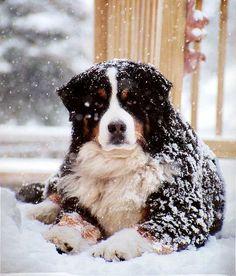 anim, friend dog, mountains, bernese mountain dogs, doggi, bernes puppi, bernes mountain, ador, snow bernes