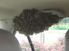 Just a swarm of bees. INSIDE A CAR!