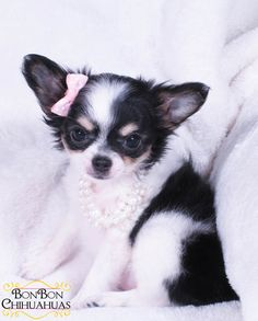 adorable chihuahua puppy
