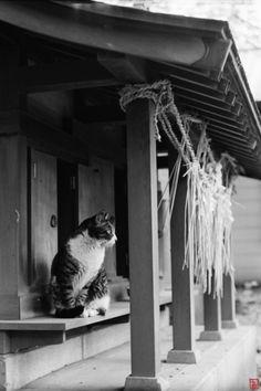 神社の猫 a cat at Japanese shrine