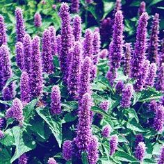 H is for Hyssop - Make your own essential oils or just relax and enjoy the unique blooms and the fabulous licorice fragrance.