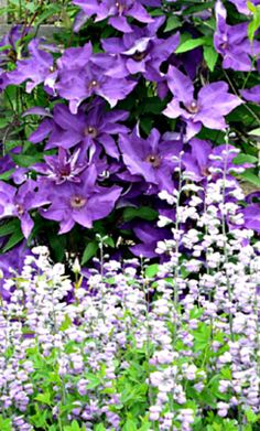 Clematis and Baptisia ~ How to Grow Clematis