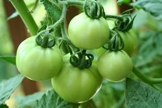 How to Freeze Green Tomatoes