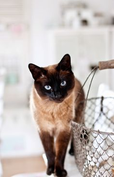 Traditional style Siamese cat
