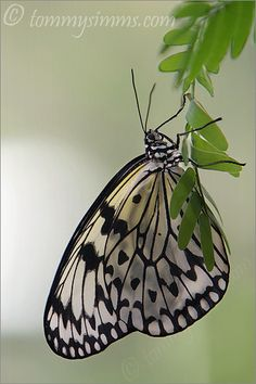 Paper Kite Butterfly:   a native of South East Asia