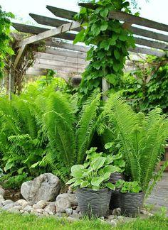 green garden, ostrich fern, arbor, stone, beauti fern, shade plants