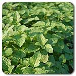 "Organic Lemon Balm A strong scented perennial that attracts bees and can be used as a medicinal herb. Full, spreading bush habit, with shiny dark green leaves well-supported on woody stems standing 2' tall. Harvest before flowering, as smell, taste, and medicinal properties will decrease as the stalks mature. Transplant or Sow seeds 1/8 -1/4"" deep, plant seedlings 18"" apart. Can be direct seeded after all danger of frost has passed. (Melissa officianalis) Days to maturity: 70 days to flower"