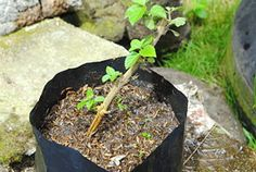 How to grow cuttings from established plants... including a list of perennials, shrubs, trees and vines! #gardening