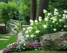 Serenity in the Garden: 'Little Lime' Hydrangea