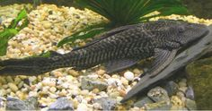 """Plecostomus or, more simple, """"pleco"""" - a common aquarium fish that eats algae. I have two. They're wonderful and very fast!"""