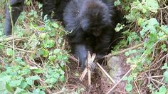 In the mountains of Rwanda, three gorillas sprung into action after witnessing a snare brutally kill an elderly gorilla. YES!! HuffPo, July 2014  Those three gorill...