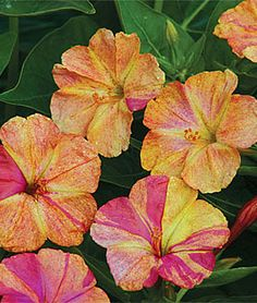 Four O'Clock, Marbles Red & Yellow  Rare, striped, trumpet-shaped flowers with a sweet, orange-blossom scent.    Sun: Full Sun   Height: 30-36  inches  Spread: 12-16  inches  Bloom Duration: 10  weeks/ATTRACTS: Hummingbirds, Red or yellow is the best, best of both with these beauties.