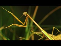 Maternal Instincts of the Murderous Mantis-Entomological Society of America