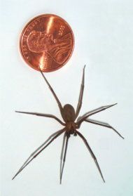 Brown Recluse Spider, Extremely Dangerous, contains 9 poisons, similar to rattlesnake venom.   Self Treatment - Stage 1 - If you've been bitten by this spider (or any spider), the 1st thing you should do is apply activated charcoal directly to wound (keep in medicine cabinet for poison emergencies).  You can find it in capsules sold at health food stores, or you can buy it in the aquarium dept. of a grocery store. Charcoal must be finely ground before it's used.  Apply thick paste to bite area.