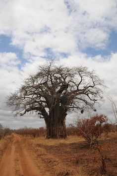 Baobab tree. My African safari 2008.