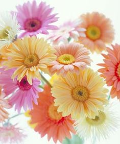 .lindas.... garden grow, pastel, flower pictures, spring flowers, gerber daisies, spring colors, gerbera daisi, front yards, beauti