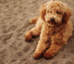 Lola mini goldendoodle