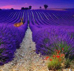 Provence - France #lavender #provence #purple #tourismepaca #violet #field #lavande