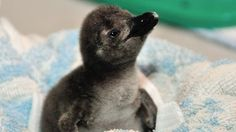 can't handle the cuteness!! Baby penguin born in Toronto!
