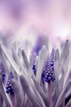 ♂ Purple flowers