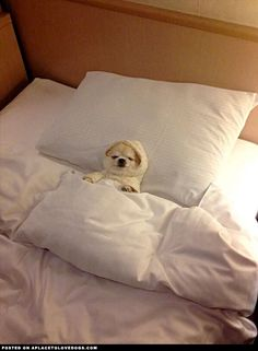 Chihuahua All Ready For Bed - A Place To Love Dogs