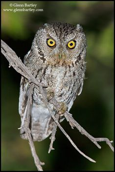 Whiskered Screech Owl (Megascops trichopsis). Photo by Glenn Bartley.