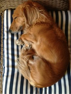 Sleeping doxie