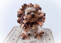 Lion Costume - Dog Halloween Costume  O.M.G. this is sooo cute - but I'm sure the poor doggie is unhappy.  ;o)