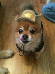 Mini. Pomeranian. Halloween cowgirl.