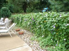 Poolside chain link fence covered with morning glory's. Beautiful. Do it every year.