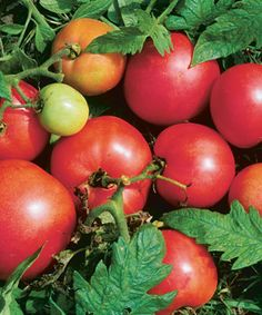 Tomatoes with a Past: Heirloom varieties are gaining ground. Learn all about them here http://www.finegardening.com/design/articles/heirloom-tomatoes.aspx fruit, cant wait, balls, fine garden, seed, bells, gardening, tomato grow, heirloom tomatoes