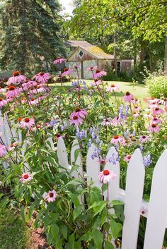 Backyard garden and white picket fence with purple coneflower, Aconitum, lawn, barn garage shed, trees, on a sunny day