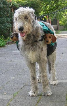'Two Subwoofers', An Irish Wolfhound Wears A Pair of Dachshunds On Either Side of a Saddle Bag