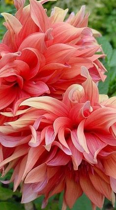 Peach Dahlia Light:S