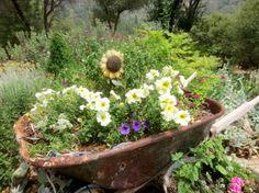 Real old wheelbarrows,…in the garden