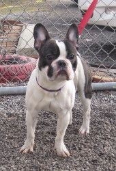 Geno is an adoptable French Bulldog Dog in Kittanning, PA. Geno is a super boy...loves people. likes his walks with the volunteers...Lived with a shih tzu...He is a year and half of age....He is crate...