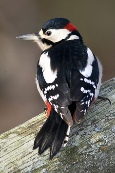 Greater Spotted Woodpecker by mikeD_CircleD