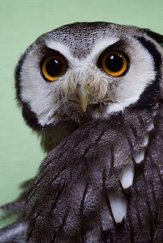 A Scops Owl